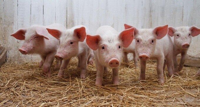 Чума свиней: нові спалахи зафіксовані в Закарпатті