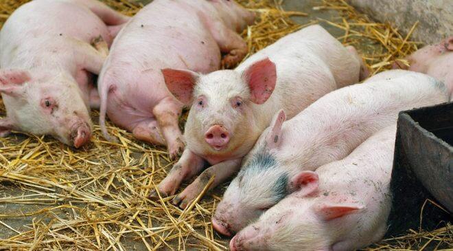 Африканська чума свиней: симптоми та профілактика