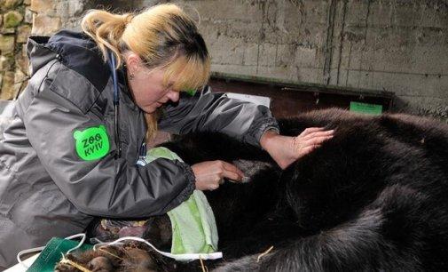 """У реабілітаційному центрі парку """"Синевир"""" ветеринари зробили ведмедю складну операцію"""
