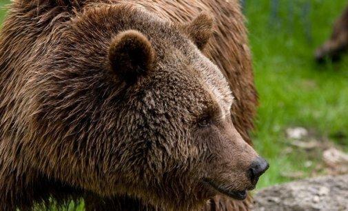 В Карпатах ведмідь полює на худобу