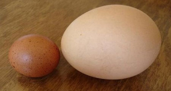 На Закарпатті курка знесла велетенське яйце (Фото)