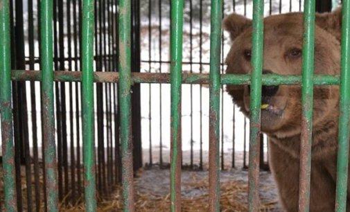 Перевезені зі Львівщини на Міжгірщину три ведмеді після ветеринарного огляду поміщені в карантинний сектор