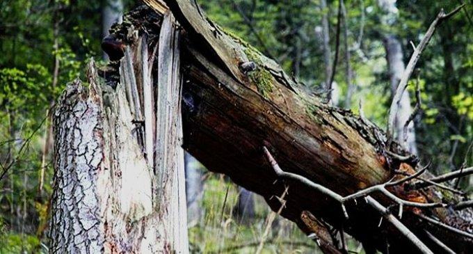 Дерево заблокувало рух транспорту по автошляху Долина-Хуст
