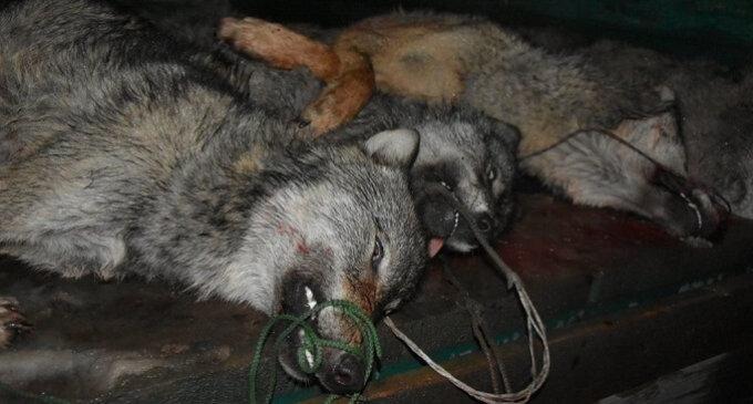 Мисливці похизувалися фото жорстоко вбитих вовків