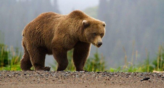 На Закарпатті ведмедів вчать життя