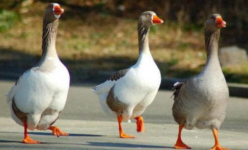 Выбираем гусей для разведения на домашнем подворье