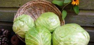 Як вибрати насіння капусти?