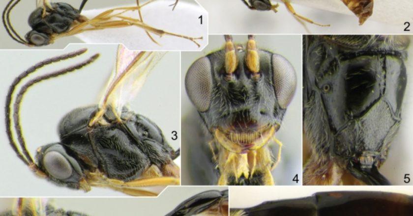 Комаха-паразит з ім'ям на честь COVID-19