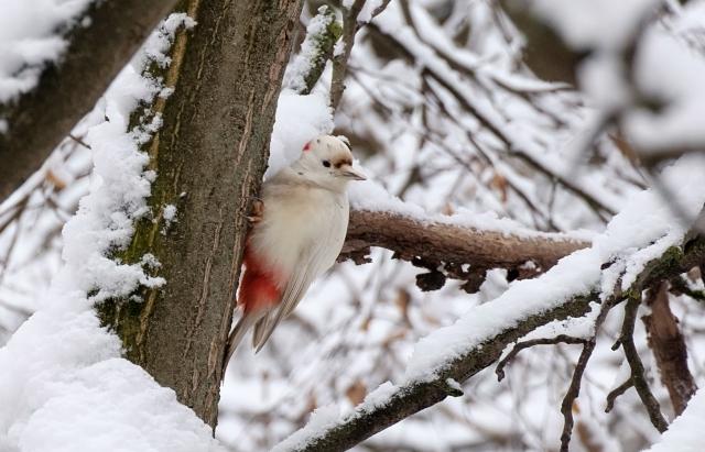 В Ужгороді оселився унікальний білий дятел-альбінос