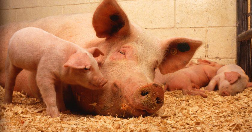 165 свиней згоріли у Мукачеві