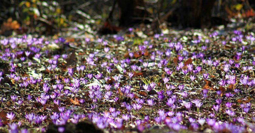 Неймовірна краса: на Закарпатті розцвів шафран